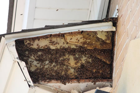 Live Honey Bee Removal
